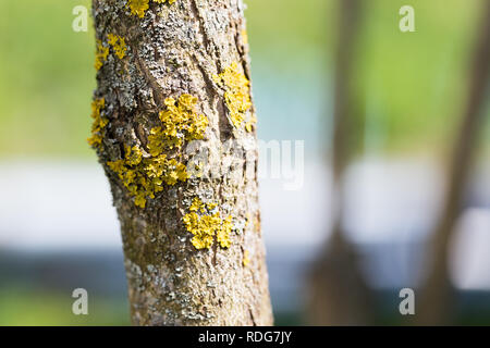 Lichen on a trunk of a fruit tree on a summer day. - Stock Photo