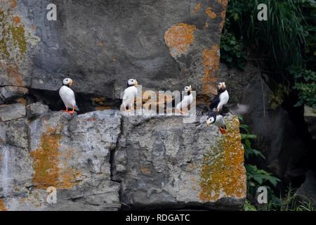 Horned Puffin (Fratercula corniculata) perched on a rock on Bird Island in Cook Inlet, Alaska - Stock Photo