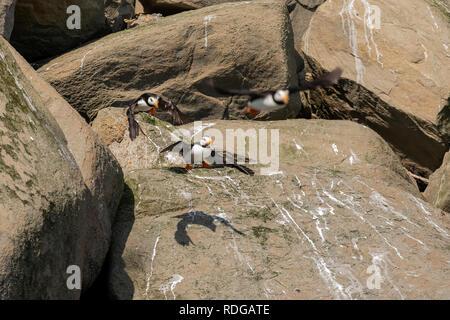 Horned Puffin (Fratercula corniculata) taking flight from rocks on Bird Island in Cook Inlet, Alaska - Stock Photo