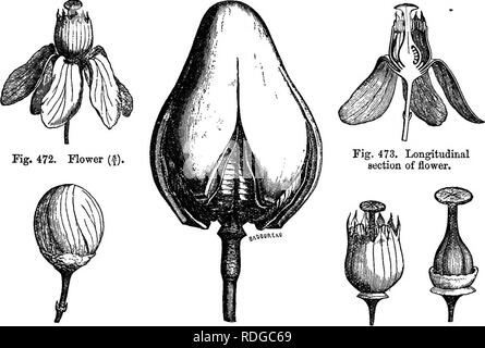 . The natural history of plants. Botany. MELIAGEJE. 479 (juinquefid, with obtuse divisions, slightly quincuncially imbricate. Witb them alternate five longer, obtuse, reflexed petals, tapering at the base, whose prsefloration is generally contorted. Then comes an androceum of ten stamens superposed, five to the sepals, and five to the petals. The bilooular introrse anthers, dehiscent by two longi- Swieienia Mahogoni,. Fig. 473. Longitudinal section of flower. Fig. 471. Bud {). Fig. 476. Dehiscent fruit. Fig. 474. Flower, with Fig. 475. perianth removed. Flower, -with perianth and androceum re - Stock Photo