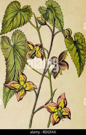 . Wayside weeds, or, Botanical lessons from the lanes and hedgerows : with a chapter on classification . Botany; Wild flowers. Alpmc Barrenwort.. Please note that these images are extracted from scanned page images that may have been digitally enhanced for readability - coloration and appearance of these illustrations may not perfectly resemble the original work.. Thomson, Spencer, fl. 1848-1883. London : Groombridge