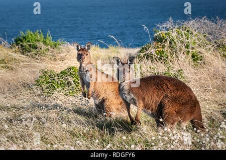 Western Grey Kangaroos on Kangaroo Island. - Stock Photo