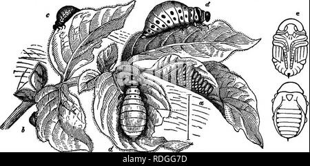 ". Elementary text-book of zoology. The underground larva is seen in the middle, the pupa to the left, and the male is emergmg on the right. The female is flying, showing elytra and wings. A very typical and common beetle is the cockchafer which works havoc upon vegetable life throughout its career. The eggs are laid in the soil and the larv^ feed upon the roots of grass or almost any herbaceous plant. After about four years of larval and pupal life, the beetle emerges in early summer and commences its depredations upon the leaves of trees. The larva of some click-beetles is called a "" wir - Stock Photo"