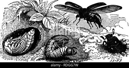 . Elementary text-book of zoology. INSECTA. 247 Fig. 164.—The Life-History of the Common Cockchafer {Melolontha vulgaris).. The underground larva is seen in the middle, the pupa to the left, and the male is emergmg on the right. The female is flying, showing elytra and wings. A very typical and common beetle is the cockchafer which works havoc upon vegetable life throughout its career. The eggs are laid in the soil and the larv^ feed upon the roots of grass or almost any herbaceous plant. After about four years of larval and pupal life, the beetle emerges in early summer and commences its depr - Stock Photo