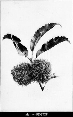 . Our native trees and how to identify them; a popular study of their habits and their peculiarities. Trees. CHESTNUT. Chestnut Burs.. Please note that these images are extracted from scanned page images that may have been digitally enhanced for readability - coloration and appearance of these illustrations may not perfectly resemble the original work.. Keeler, Harriet L. (Harriet Louise), 1846-1921. New York, C. Scribner's Sons - Stock Photo