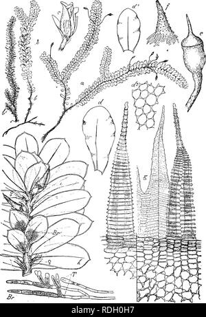 ". Flore de Buitenzorg. Botany. 996. Fig. 170. Distichopliyttum Osterwatdii FlscH. a. Habitusbild (nntiirl. Giosse). b. cj"" Pflanzo. }' ^f Pflanze trocken (natiu'l. Grosso) c. d"" Bliite. d. Soitliolies, d'- vovderes Laubblatt '-P. rf"". Blattzellen ^-^. c. Sporo- gon V- /• Haube '/. g. Povistom dorsal, Zahu links ventral gesohon —^. J), tortile V. D. B. et Lac. h, Sprossendo dos Stengels mlt termiaalem Bliitenstand. i. junges Sporogon. Br. Blattbiirtige Brutfiidon mit T. = Tragerzellen ^7—.. Please note that these images are extracted from scanned page images that may have been d - Stock Photo"