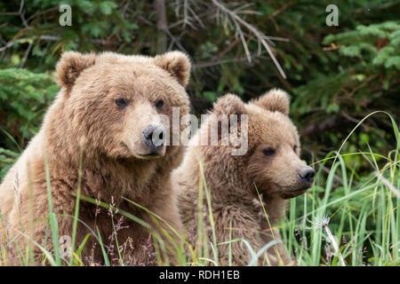 Brown Bear (Ursus arctos) sow and two third year cubs in Lake Clark National Park, Alaska - Stock Photo