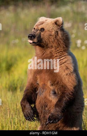 Brown Bear (Ursus arctos) sow standing on her hind legs watching for danger in Lake Clark National Park, Alaska - Stock Photo
