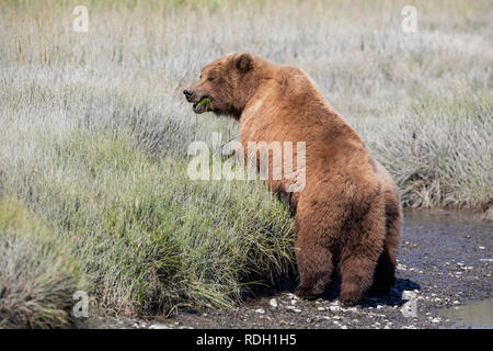 Brown Bear (Ursus arctos) sow standing on a stream bank in Lake Clark National Park, Alaska - Stock Photo