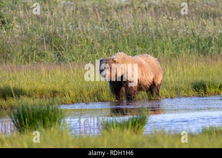 Brown Bear (Ursus arctos) sow eating grass beside a small pond in Lake Clark National Park, Alaska - Stock Photo