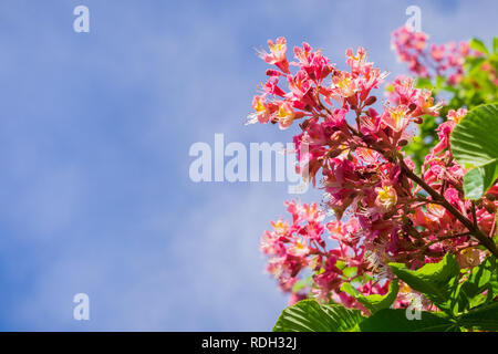 Red horse-chestnut blooming in spring, San Francisco bay, California - Stock Photo