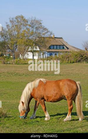 Haflinger horse in Neuendorf, Hiddensee Island, Mecklenburg-Western Pomerania - Stock Photo