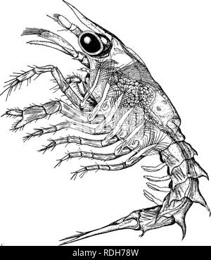. Natural history of the American lobster... Decapoda (Crustacea); Lobster fisheries. NATURAI, HISTORY OF AMERICAN I^OBSTER. THE SECOND I^ARVA. 337 [Fig. 41.] Under favorable conditions the first larval stage of the lobster lasts from i to 2 days. Upon molting for the first time after birth, the animal emerges into its second larval, free swimming stage.. Fig. 41.—Second larva, or second swimming stage of lobster in profile. For natural swimming position hold page sidewise with head of animal down, and consult figure 40 of text. I^ength 9 mm., or 0.3 5 inch. In habits and color the second larv - Stock Photo