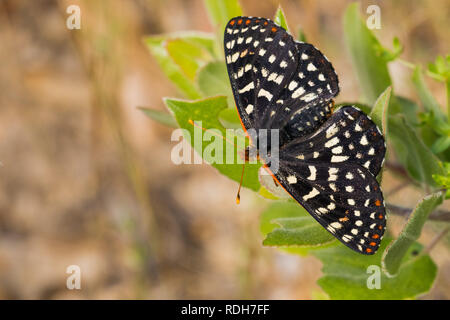 Close up of a variable checkerspot butterfly, San Francisco bay area, California - Stock Photo