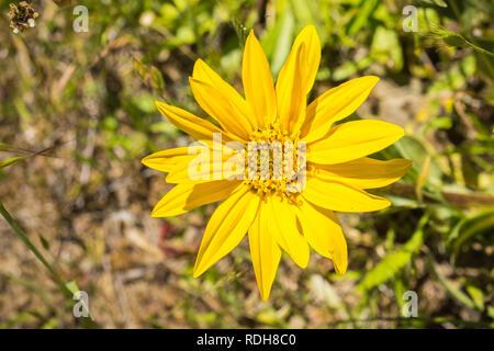 Narrow Leaf Mule Ears (Wyethia angustifolia), California - Stock Photo
