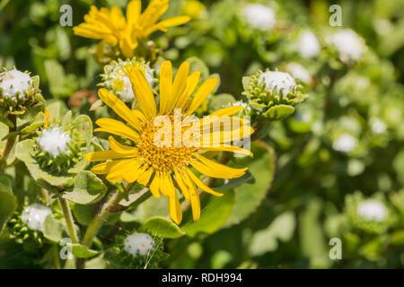 Great Valley Gumweed, Great Valley Gumplant (Grindelia camporum, Grindelia robusta) flowering, California - Stock Photo