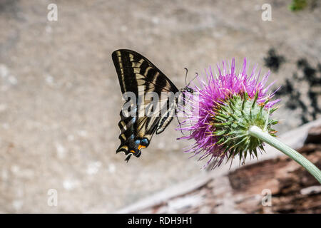 Western Tiger Swallowtail (Papilio rutulus) pollinating a thistle flower, Yosemite National Park, California