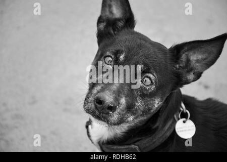 Sad old dog isolated. Mongrel breed with depressed eyes. Pet waiting - Stock Photo