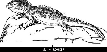 . A manual of elementary zoology . Zoology. Plate IX.—Cold-blooded Pentadactyla. A, The Warty newt {Molge cristata); t, female ; 2, male at the breeding season, with the crest well developed ; J3, the Tuatara {Sphcnodon punctatus).. Please note that these images are extracted from scanned page images that may have been digitally enhanced for readability - coloration and appearance of these illustrations may not perfectly resemble the original work.. Borradaile, L. A. (Lancelot Alexander), 1872-1945. London : H. Frowde, Hodder & Stoughton - Stock Photo