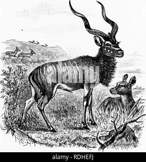 . Man and beast in eastern Ethiopia : From observations made in British East Africa, Uganda, and the Sudan . Natural history; Indigenous peoples; Ethnology. XXII ANTELOPES 281 The Greater Kudu exists around Lake Bariiigo, and a good specimen shot by Powell-Cotton in 1893 stood five feet nine inches at the shoulders and weighed 654 pounds. Kudus must be fairly abundant in Somaliland, if one may judge from the number of horns of these. The Greater Kudu is a magnificent antelope. antelopes ofiered for sale by natives at Aden to the passengers on the great ships which call there. This may account  - Stock Photo