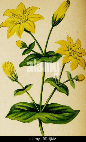 . Wayside weeds, or, Botanical lessons from the lanes and hedgerows : with a chapter on classification . Botany; Wild flowers. Perfoliate Yellow-wort.. Please note that these images are extracted from scanned page images that may have been digitally enhanced for readability - coloration and appearance of these illustrations may not perfectly resemble the original work.. Thomson, Spencer, fl. 1848-1883. London : Groombridge