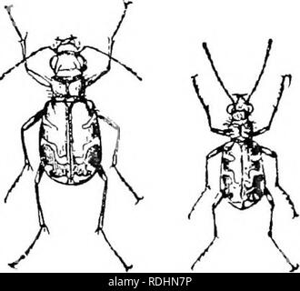 . An illustrated descriptive catalogue of the coleoptera or beetles (exclusive of the Rhynchophora) known to occur in Indiana : with bibliography and descriptions of new species . Beetles. . Please note that these images are extracted from scanned page images that may have been digitally enhanced for readability - coloration and appearance of these illustrations may not perfectly resemble the original work.. Blatchley, W. S. (Willis Stanley), 1859-1940. Indianapolis : Nature Pub. Co. - Stock Photo