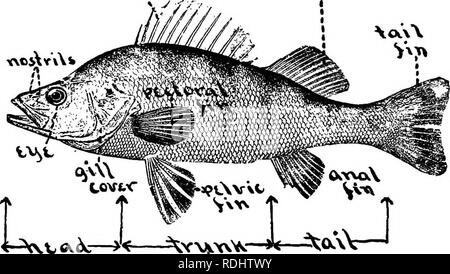 """. Elementary biology, animal and human. Biology. CHAPTER IV FISHES 89. What is a fish ? — """"A fish is a backboned animal which lives in the water and cannot ever live very long anywhere else. Its ancestors have always dwelt in water, and likely its descendants will forever follow their example. So, as the •<03.f. cV '< ^V-NJJ.W'^- FiG. 90.—Yellow perch. water is a region very different from the fields or the woods, a fish in form and structure must be quite unlike all the beasts and birds that walk or creep or fly above ground, breathing air, and being fitted to live in it. There - Stock Photo"""