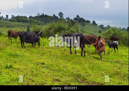 Many subsistence farmers encroach on the protected gorilola habitat of Virunga National Park, Parq National des Virunga, Democratic Republic of Congo. - Stock Photo