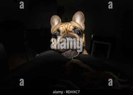 Dramatic picture of little pug dog at night inside of an apartment playing on the floor - Stock Photo