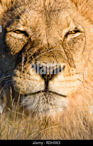 A lion, Panthera leo, squints in the bright Kalahari sunlight of the Kgalagadi Transfrontier Park, spanning Botswana and South Africa - Stock Photo