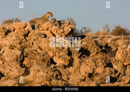 A leopard mother and two cubs, Panthera pardus, blend into a rocky landscape, Kgalagadi Transfrontier Park, South Africa and Botswana. - Stock Photo