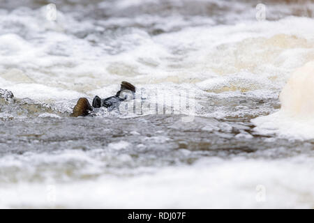 Atlantic salmon leaping rapids to find nesting place. Fish swimming in river upstream to breed - Stock Photo