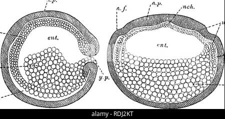. A manual of elementary zoology . Zoology. EMBRYOLOGY 491 mid-dorsal line, but presently it separates here also, leaving in the middle a cord of cells attached to the dorsal wall of the gut. This cord soon separates as the notochord. The mesoblast forms a sheet on each side of the gut, below which the two sheets soon meet, enclosing it completely except in the mid-dorsal line, where the notochord lies (Fig. 371). On each side of this line the mesoblast is thicker than elsewhere, forming the segmental plate. A split, the rudiment of the ccelom, appears and separates an outer or somatic,-layer  - Stock Photo