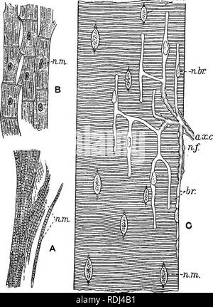 . A manual of elementary zoology . Zoology. Plate II.—Histology of muscle. Ay Cardiac muscle of the frog; B, cardiac muscle of man; C, part of a skeletal muscle fibre of the frog, showing the ending of a motor nerve fibre. ojc.c, Axis cylinder of the nerve fibre ; dr., branches of the same after it has lost its medullary sheath; n.br.^ nuclei of the branches; »./., nuclei of the nerve fibre; «.»z., nuclei of muscle fibres.. Please note that these images are extracted from scanned page images that may have been digitally enhanced for readability - coloration and appearance of these illustration - Stock Photo
