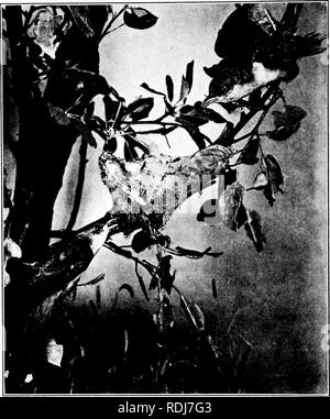 . Elementary biology, animal and human. Biology. YELLOW-BILLED CUCKOOS EATING TENT CATERPILLARS Photographed from exhibit in Brooklyn Museum of Arts and Sciences, by A. E. Rueft.. Please note that these images are extracted from scanned page images that may have been digitally enhanced for readability - coloration and appearance of these illustrations may not perfectly resemble the original work.. Peabody, James Edward, b. 1869; Hunt, Arthur Ellsworth, joint author. New York, The Macmillan company - Stock Photo