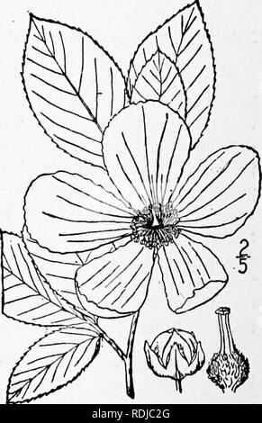 . An illustrated flora of the northern United States, Canada and the British possessions, from Newfoundland to the parallel of the southern boundary of Virginia, and from the Atlantic Ocean westward to the 102d meridian. Botany; Botany. MALVACEAE. Vol. II. 7. Hibiscus Syriacus L. Shrubby Althaea. Rose- of-Sharon. Fig. 2875. Hibiscus Syriacus L. Sp. PI. 695. 1753. A branching nearly glabrous shrub, io°-20° high. Leaves short-petioled, ovate, 2'-e,' long, obtuse or cuneate at the base, acute but blunt at the apex, 3^5-lobed or the upper merely dentate, sometimes with a few scattered stellate hai - Stock Photo