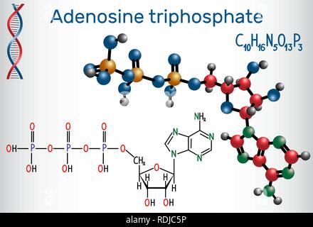 Adenosine triphosphate (ATP) molecule, is intracellular energy transfer and required in the synthesis of RNA. Structural chemical formula and molecule - Stock Photo