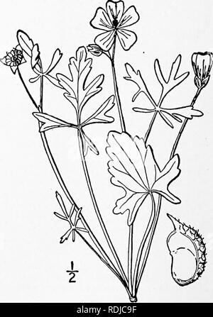 . An illustrated flora of the northern United States, Canada and the British possessions, from Newfoundland to the parallel of the southern boundary of Virginia, and from the Atlantic Ocean westward to the 102d meridian. Botany; Botany. 5. Malva Alcea L. European or Vervain Mallow. Fig. 2852. Malva Alcea L. Sp. PI. 689. 1753. Similar to the preceding species, but the stem-leaves are only once S-7-parted or cleft, the lobes dentate or incised; pubescence shorter and denser, stellate; flowers pink, pur- plish or white; petals obcordate; carpels glabrous, very finely rugose-reticulated. In waste  - Stock Photo
