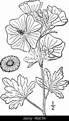. An illustrated flora of the northern United States, Canada and the British possessions, from Newfoundland to the parallel of the southern boundary of Virginia, and from the Atlantic Ocean westward to the 102d meridian. Botany; Botany. 5i6 MALVACEAE. Vol. II.. 5. Malva Alcea L. European or Vervain Mallow. Fig. 2852. Malva Alcea L. Sp. PI. 689. 1753. Similar to the preceding species, but the stem-leaves are only once S-7-parted or cleft, the lobes dentate or incised; pubescence shorter and denser, stellate; flowers pink, pur- plish or white; petals obcordate; carpels glabrous, very finely rugo - Stock Photo