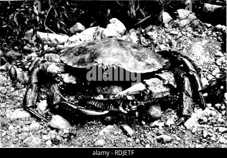 """. Elements of zoology, to accompany the field and laboratory study of animals. Zoology. Fig. 1.37. — Panopeus sayi, al- lied to Cancer. The niufl- crab. One-half nat. size Photo, bv W. H. C. P.. Fig. 1.38. — Cancer irroratus, the rock-crab. Reduced to one-third. Photo. by W. H. C. P. hasta'tus of the East, and the beautiful """" lady-crab """" (Fig. 139), belong to the swimming group. Crabs of other families are,. Please note that these images are extracted from scanned page images that may have been digitally enhanced for readability - coloration and appearance of these illustrations may  - Stock Photo"""