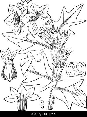 . An illustrated flora of the northern United States, Canada and the British possessions, from Newfoundland to the parallel of the southern boundary of Virginia, and from the Atlantic Ocean westward to the 102d meridian. Botany; Botany. Genus 9. POTATO FAMILY. 169 nally dehiscent. Ovary 2-celled; style slender; stigma capitate. Capsule 2-celled, circum- scissile above the middle. [Greek, hog-bean.] About 15 species, natives of the Mediterranean region, the following typical.. I. Hyoscyamus niger L. Black Hen bane. Hog's-bean. Fig. 3728. Hyoscyamus niger L. Sp. PI. 179. 1753. Annual or biennial - Stock Photo