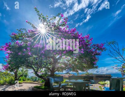 Bougainvillea tree colorful purple blooms under the bright morning sun. - Stock Photo