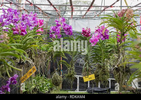Hanging orchid plants with flowers for sale with a price tag 'each 200' (Thai baht). At the plant fair in King Rama IX Park, Bangkok, Thailand - Stock Photo