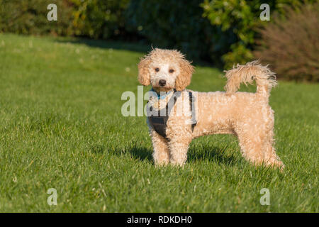Portrait of poochon puppy wearing black harness standing with tail up on green grass in a park  and looking into the camera - Stock Photo