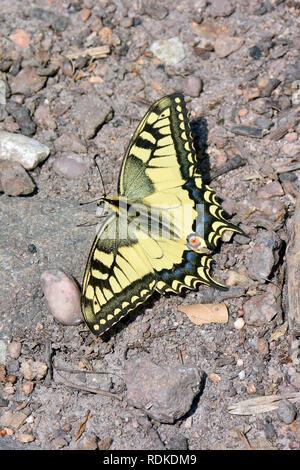 swallowtail, Old World swallowtail, common yellow swallowtail, Schwalbenschwanz, Papilio machaon, fecskefarkú lepke - Stock Photo