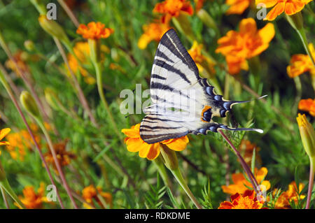 Scarce swallowtail, Segelfalter, Iphiclides podalirius, kardoslepke, kardfarkú lepke