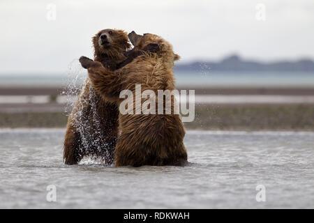 Brown bear, Ursus arctos, viewing is a popular activity at Hallo Bay, Katmai National Park, Alaska, as grizzlies congregate on the beach to fish. - Stock Photo