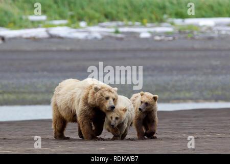 Brown bear, Ursus arctos, sow and cubs walking on the beach at Hallo Bay, Katmai National Park, Alaska, USA,  where bear viewing is a popular activity - Stock Photo