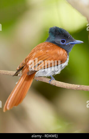 A colorful African Paradise Flycatcher, Terpsiphone viridis, perches on a branch in the forest of Umlalazi, KwaZulu-Natal, South Africa. - Stock Photo