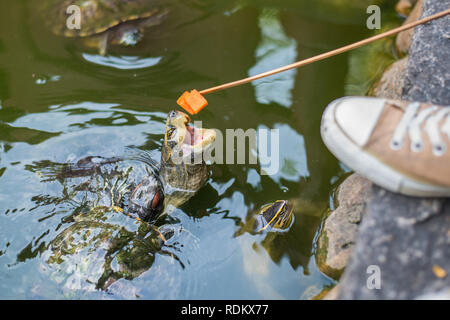 Turtle sticks its head out the water trying to catch a piece of papaya pinned on a long wooden stick. Feeding pond turtles - Stock Photo